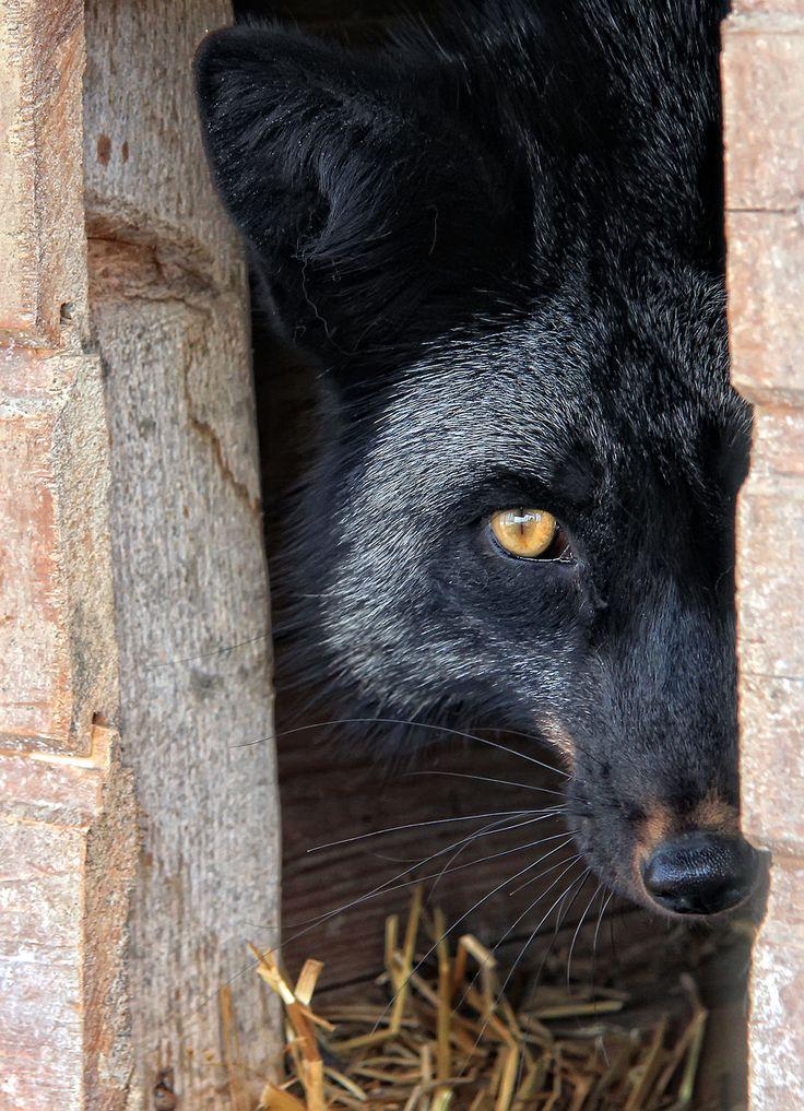**Wolf by Marusya