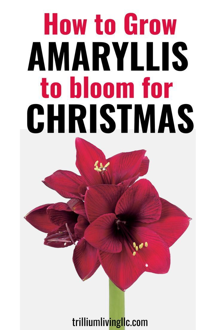 How To Grow Amaryllis To Bloom For Christmas Every Year Trillium Living Flower Pot Design House Plants Amaryllis