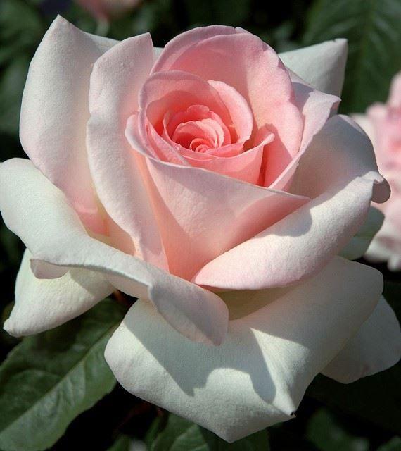 414 best images about g l rose on pinterest green rose lavender roses and ana rosa. Black Bedroom Furniture Sets. Home Design Ideas