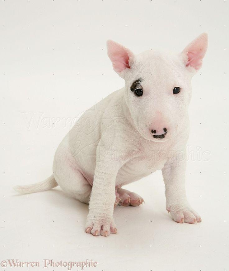 Miniature English Bull Terrier pup