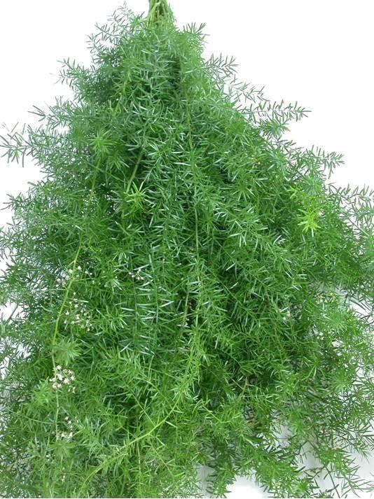 Springri or asparagus fern flower names pinterest for Baby fern plant
