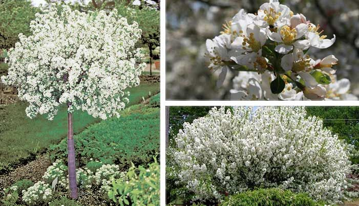 Lollipop crabapple mary mary quite contrary for Dwarf flowering trees