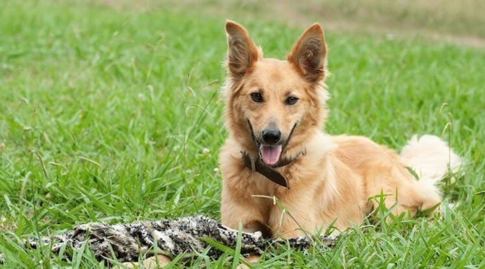 German Shepherd Golden Retriever Mix Golden Retriever Mix Dog