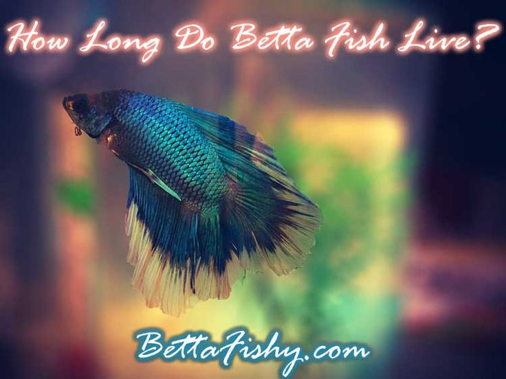 How long do betta fish live can you extend betta fish for Betta fish online