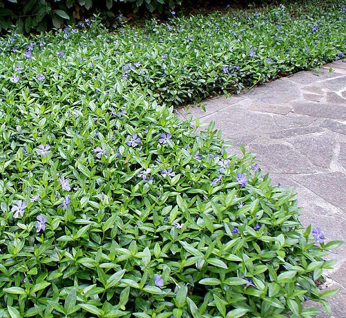 Vintergröna är en vältäckande perenn som sprider sig villigt.