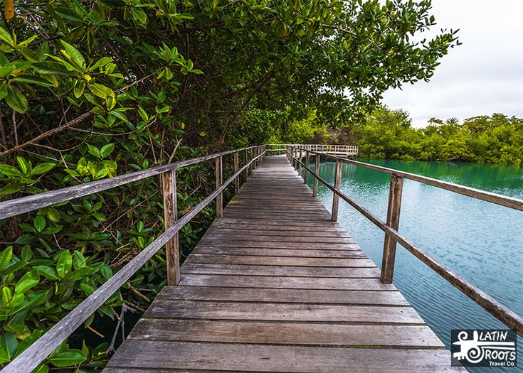 A mangrove forest is where one third of all marine species are born and raised. Some species spend their entire life in the mangroves. This unique ecosystem also provides shelter and food for many reptile, mammal, and bird species.  Guide to 4 of Ecuador Ecosystems: Forests (Mangrove, Dry, Cloud, Rain) | Latin Roots Travel (Ecuador)