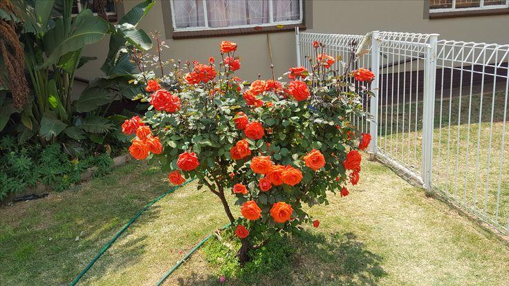 Orange rosebush