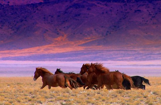 Wild horses running free within the boundries of Madeleine Pickens wild horse sanctuary,Mustang Monument.
