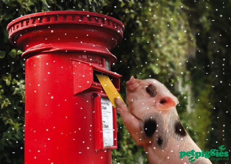 Micro Pig Posting Christmas Card Www Petpiggies Co Uk