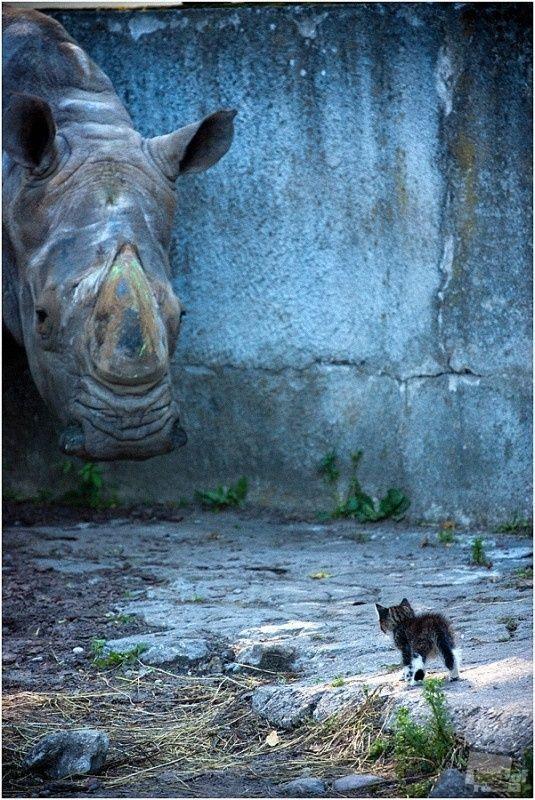 Fearless Kitten. Micio nient'affatto spaventato dalla presenza di un rinoceronte! #gatti