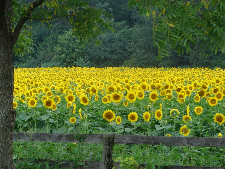 Sunflower field, Yellow Springs, Ohio It's closer to me than most of the places I want to visit - & yet I've never been there!