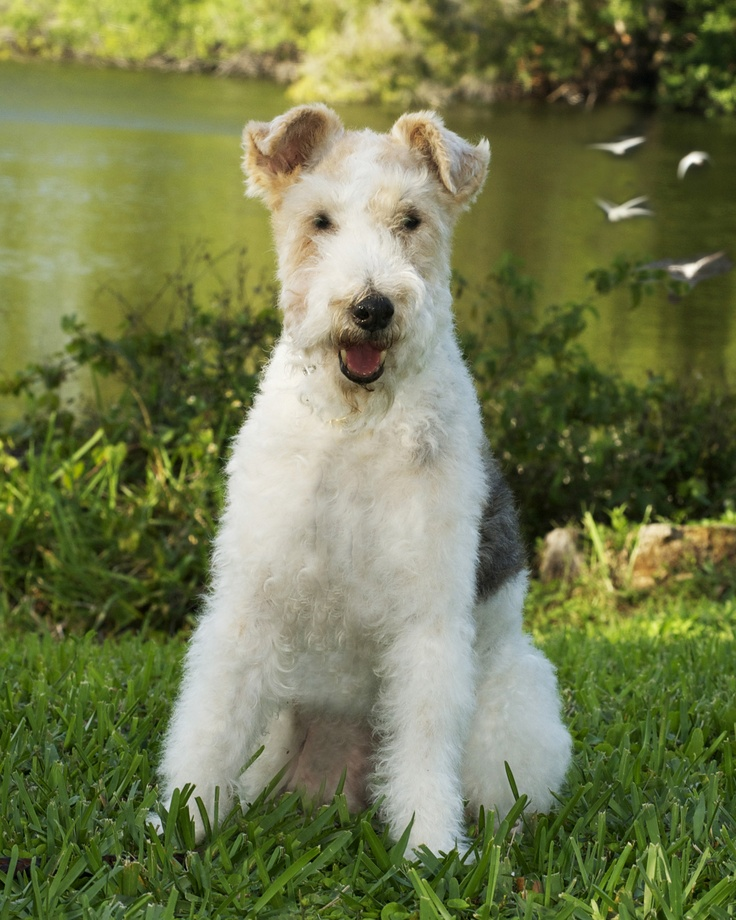 68 best FOX TERRIER AND JACK RUSSELS images on Pinterest | Jack ...