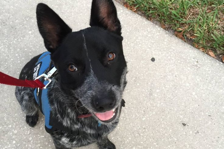 Hey there, I'm Cosimaand I'm trying to raise funding to fly to pick up my service dog in Kentucky, who has been training for me for a long time.  I suffer from severe generalized anxiety disorder and PTSD. I have an honours degree in Criminology that I finished this year and up until this summer...