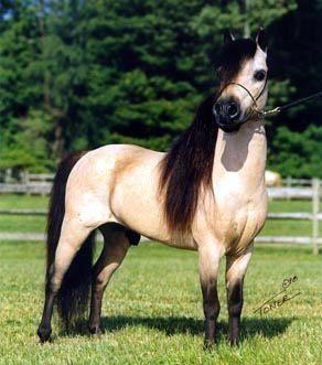 Gorgeous buckskin color horse, wow!