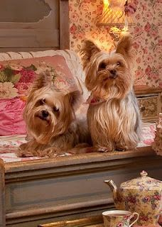Yorkie love.....wish my lil one had a lil girl Yorkie to play with!  He's such the little ladies man!!