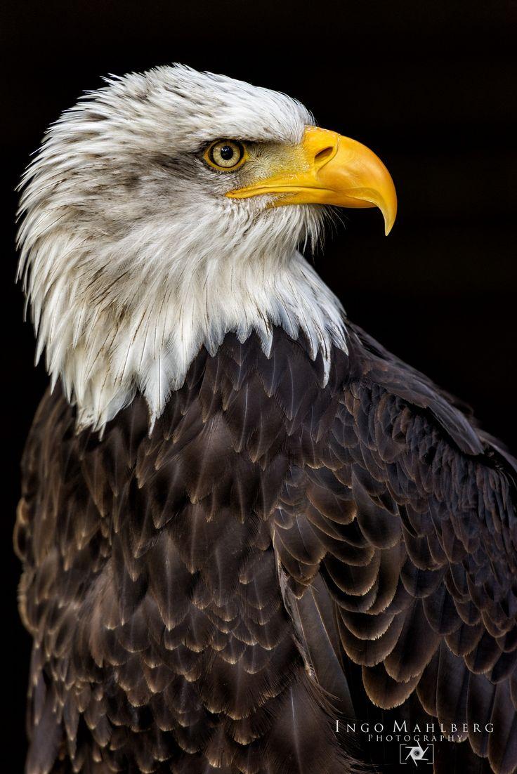 Weißkopfseeadler by Ingo Mahlberg Photography on 500px
