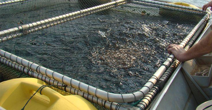 criação de peixes tilapia em tanques rede