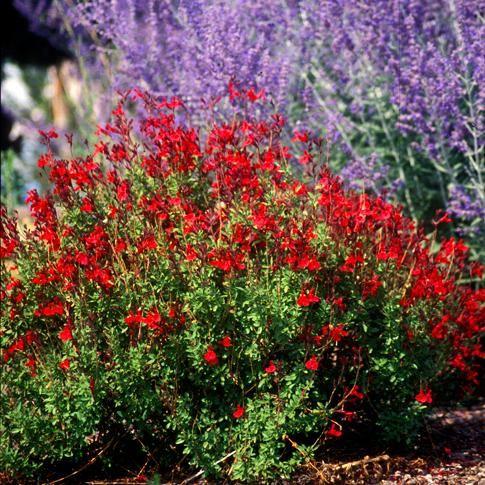 Furman S Red Autumn Sage W Russian Sage Garden