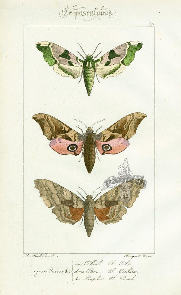 Lucas Butterflies (Sphinx Tilioe )1834