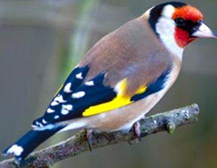 Mp3 Download Goldfinch Birds Chirping Sound