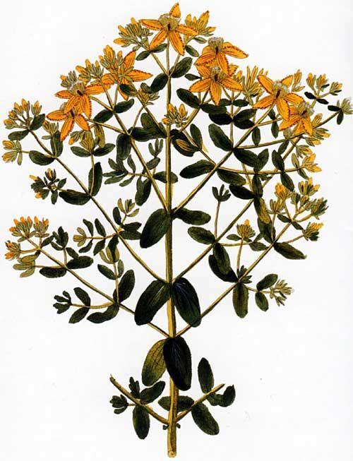 Hypericum perforatum , known as Perforate St John's-wort, Common Saint John's wort and St John's wort,   is a flowering plant of the genus Hypericum and a medicinal herb with antidepressant activity . Picturing Plants and Flowers by Ignaz Alberti: