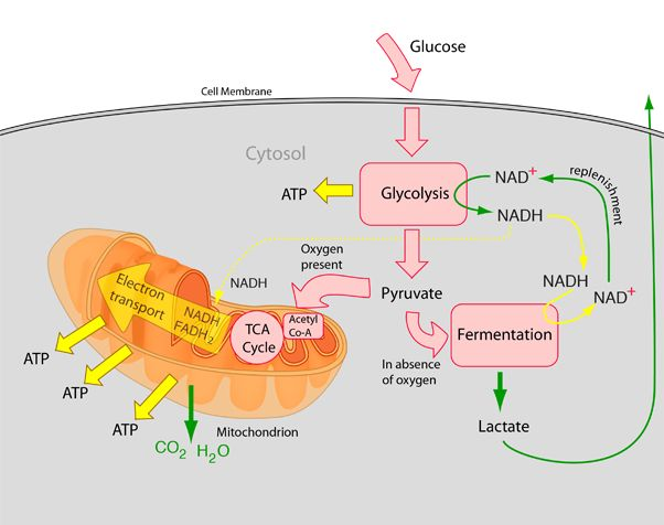 biology cellular respiration and c chromatin Overview of cellular respiration cellular respiration is the process that releases energy from food in the presence of oxygen.