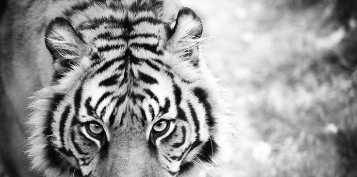 Eye of the Tiger by Clare FitzGerald (FitzGerald Photographic) wildlife photography #Tiger #B&W #Wildlife #FineArt