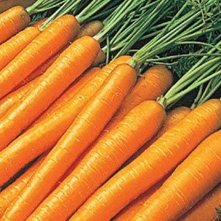 Tendersweet Carrot  fall garden??
