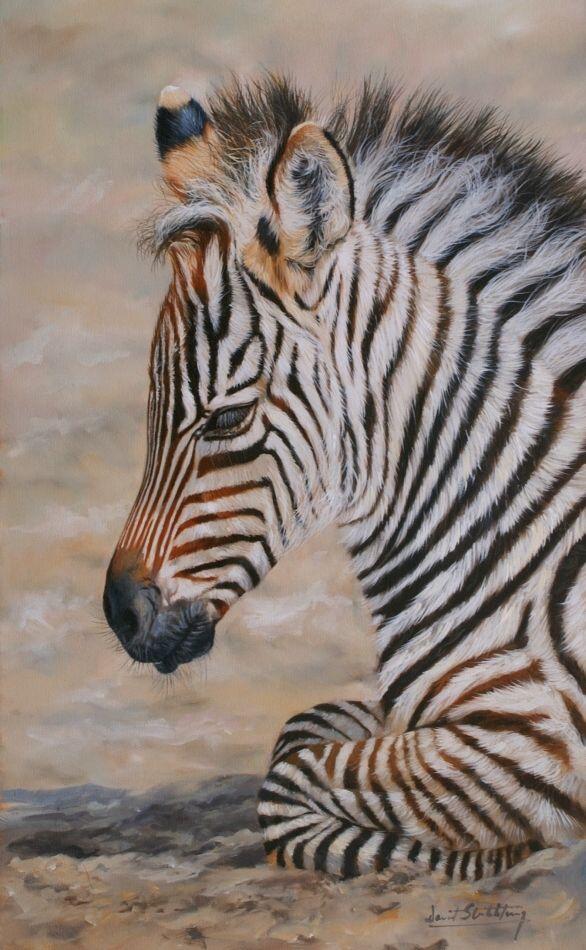Baby Zebra  (by David Stribbling)  kbchorsesupplies.com