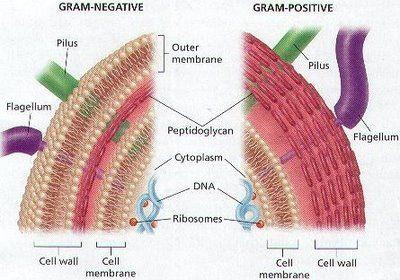 Gram positive vs. Gram Negative Bacteria.