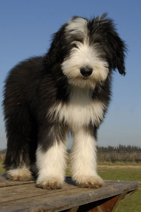 Bearded collie photo | Bearded Collie - InfoVeto