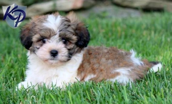 Alexa – Shichon Puppies for Sale in PA | Keystone Puppies