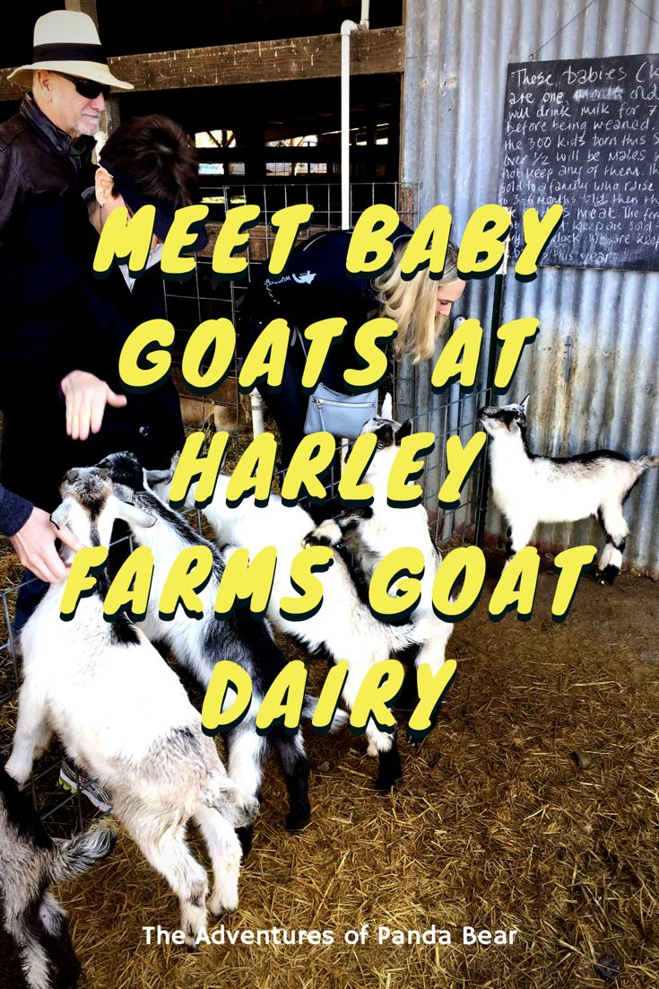 Meet Baby Goats at Harley Farms Goat Dairy in Pescadero, California | Take a farm tour on the goat farm to learn about their dairy and hold baby goats during kidding season | Goats, Baby Goats, Farm Tours, Harley Farms, Goat Dairy, Goat Cheese, Experiences, Travel Experiences #ThingsToDo #NorthernCalifornia #GoatFarm #TravelExperiences #BabyAnimals #UniqueExperiences