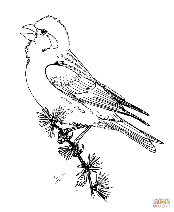 48 best images about coloring pages on pinterest for Finch coloring page
