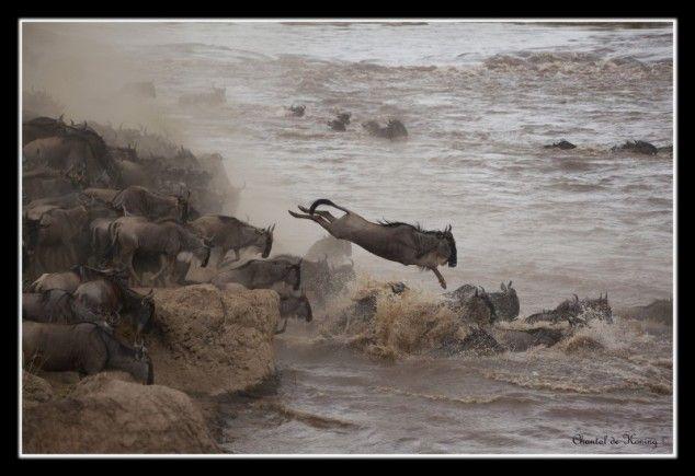 Springen - foto gemaakt in Masai Mara NP, Kenia