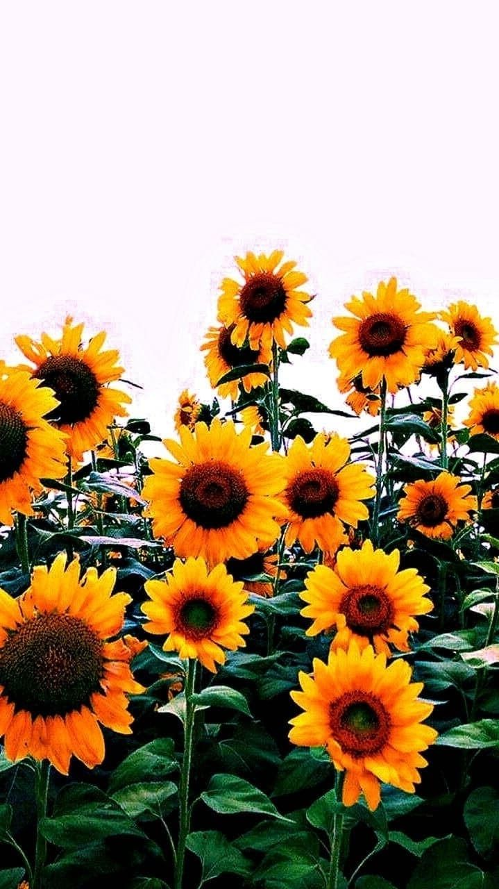 Pin On Sunflower Wallpapers For Iphone X
