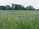 Tallgrass Prairie with Yellow Cornflowers, Herbert Hoover Historic Site, Iowa