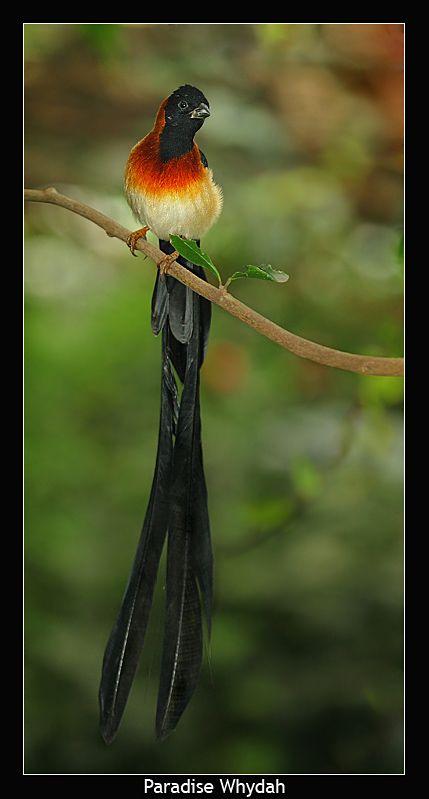 Paradise Whydah: Eastern Paradise, Viduida Families, Paradise Whydah Vidua, Tail Feathers, Sparrow Lik Birds, Long Tail Paradise, Vidua Paradisaea, Birdi Birds, Beautiful Birds