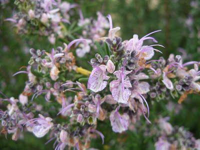 Jardim Autóctone: Alecrim (Rosmarinus officinalis)