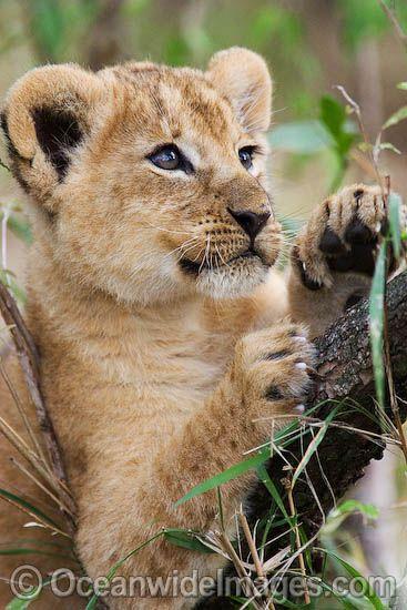 Lion cub   (©OceanwideImages.com)