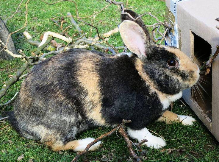 harlequin rabbit color