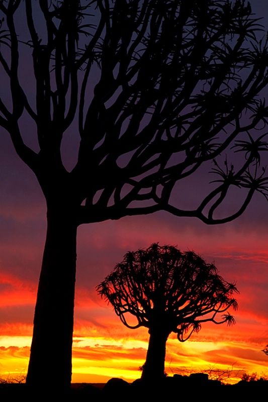 Quiver tree forest at sunset, near Keetmanshoop, Namibia