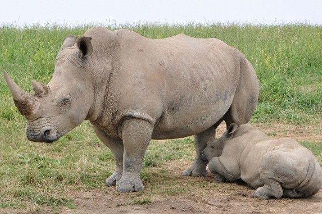South African rhino poaching hits all-time high in 2013 | I Fucking Love Science