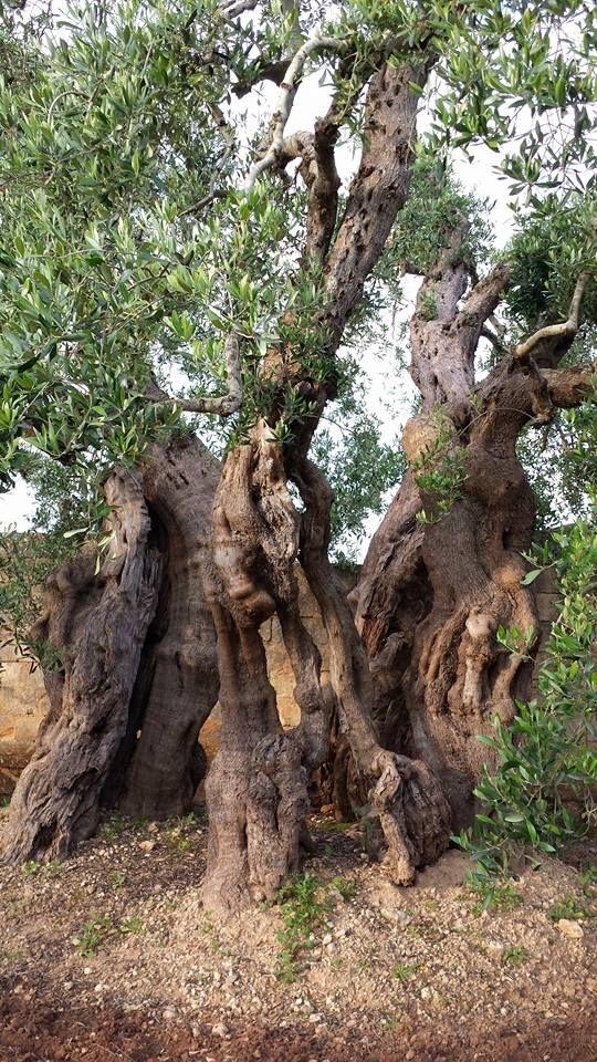 Ulivo monumentale nelle campagne salentine. Vigore e bellezza racchiusi in un albero. www.nelsalento.com