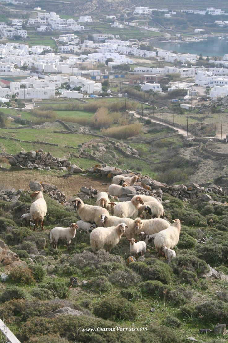 Goats wearing their winter coats in Mykonos while grazing above Ornos. Notice how GREEN the island is during the winter! Summer tourists miss this lush view of the island. The winter brings the rain to fill the reservoirs and nourish the land before the hot summer arrives. #Mykonos #Ornos #Greece #Goats #Mykonos Dreams