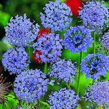 Blåparasoll 'Blue Lace'