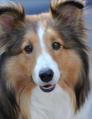 190 best images about shetland sheepdogs shelties on for Tap tap fish corgi