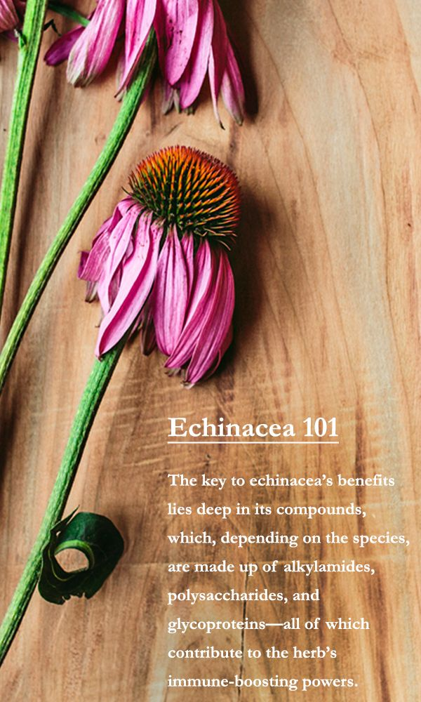Get the 101 on echinacea, one of the most well-studied and celebrated plants in herbalism today.