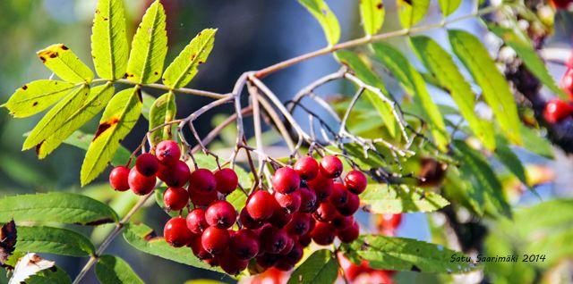 Pihlajanmarjat, rowan berries Ahtaansalmi, Keuruu, Finland