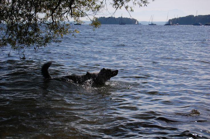 Was gibt es schöneres als ein erfrischendes Bad im Starnberger See? Wenn man Mika fragt, nicht viel... - Isarhunderunde 10: Possenhofen und Wolfschlucht